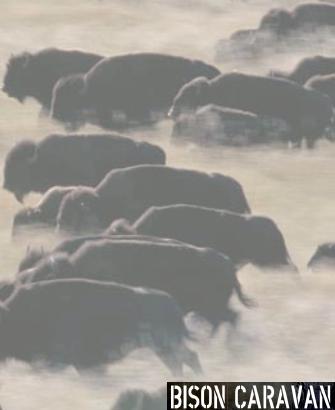 bison_thumb5
